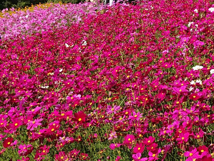 2020年 万博記念公園の秋桜 コスモス
