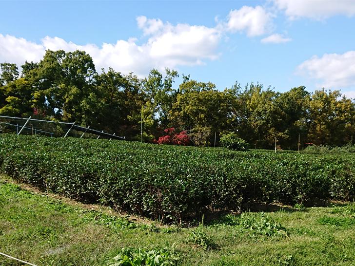 自然文化園の茶畑