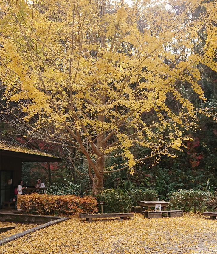 ほしだ園地のピトンの小屋の横の大きなイチョウの木