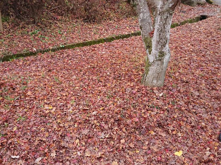 ほしだ園地のピトンの小屋の前にあった紅葉のジュウタン
